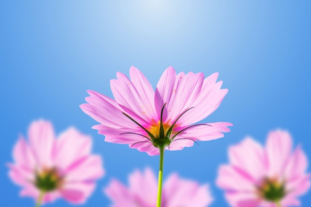 Pink cosmos flowers blooming on a blue sky.