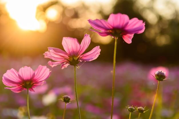 夕焼けのフィールドに咲くピンクのコスモスの花