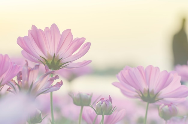 Pink cosmos flowers blurred with blurred pattern background.