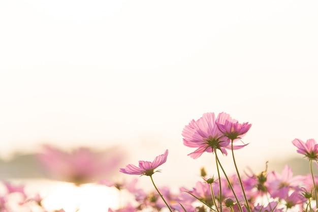 暖かい朝の太陽光とピンクのコスモス花の庭