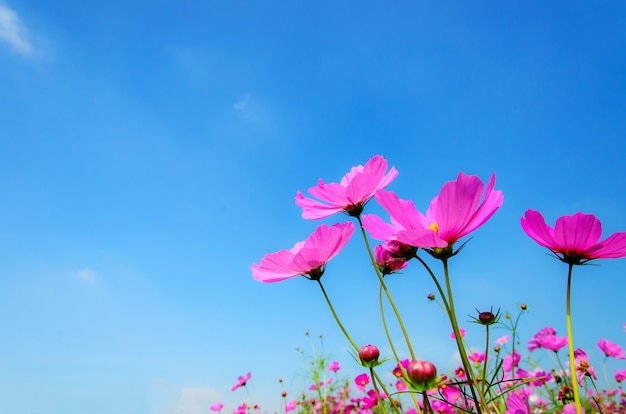 Pink cosmos flowers with blue sky and cloud background