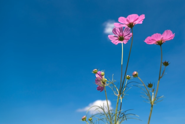 Pink cosmos flowers with copy space