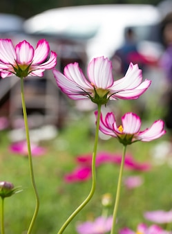 ピンクのコスモスの花