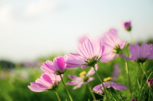 庭にピンクのコスモス。