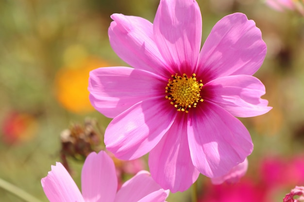 Pink cosmos in tropical