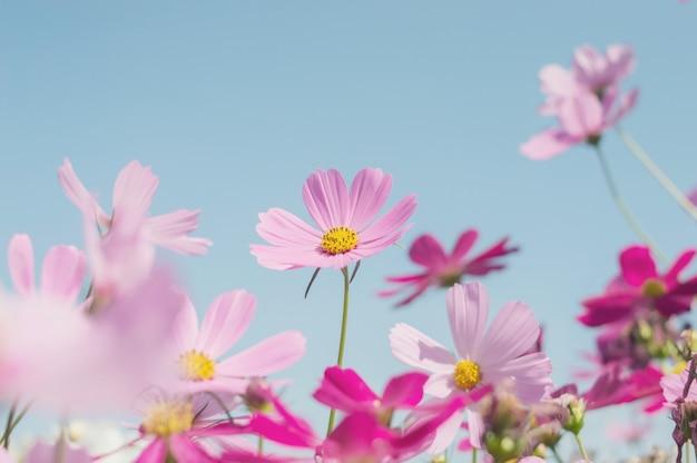 庭で日光とピンクのコスモス