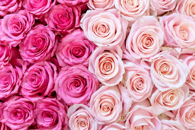 Pink and cream-colored roses background.