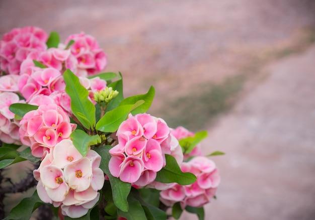 棘の花やユーフォビアミリーのピンクの王冠。コーナーの美しい花序。
