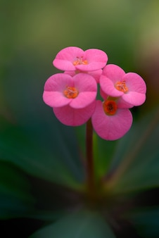 Pink crown of thorns plant.