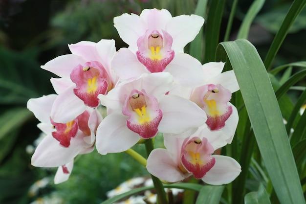 Pink cymbidium orchid in garden