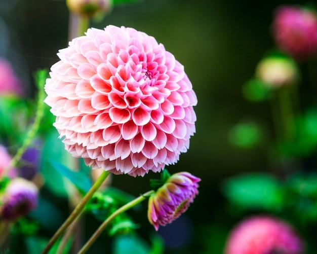 庭の花壇の背景にピンクのダリアの花。秋の花