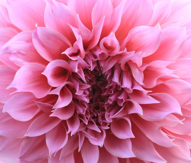 Pink dahlia flower background