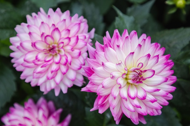 春の日に庭にピンクのダリアの花
