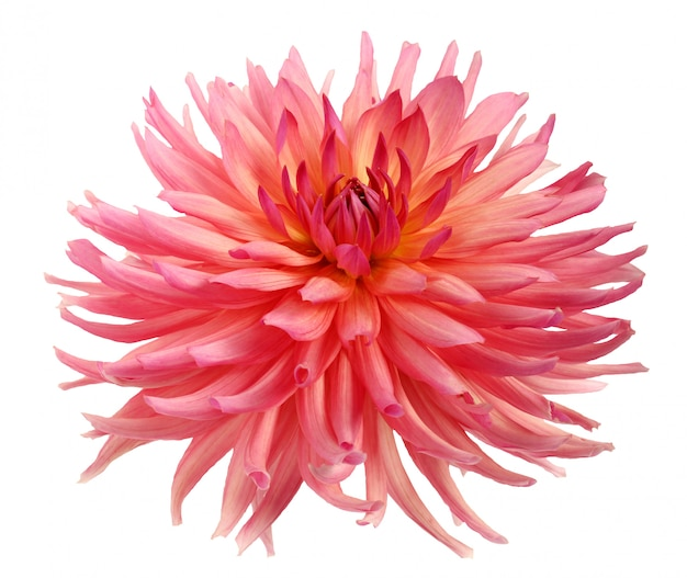 Pink dahlia flower isolated.