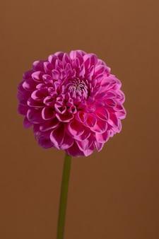 茶色の背景にピンクのダリアの花クリッピングパスと美しい観賞用咲く庭の植物