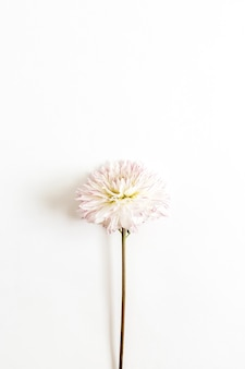 Pink dahlia flower on white surface