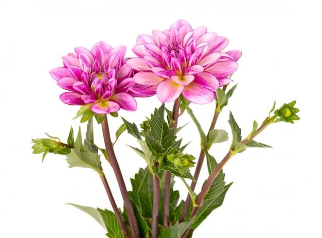 葉とピンクのダリアの花