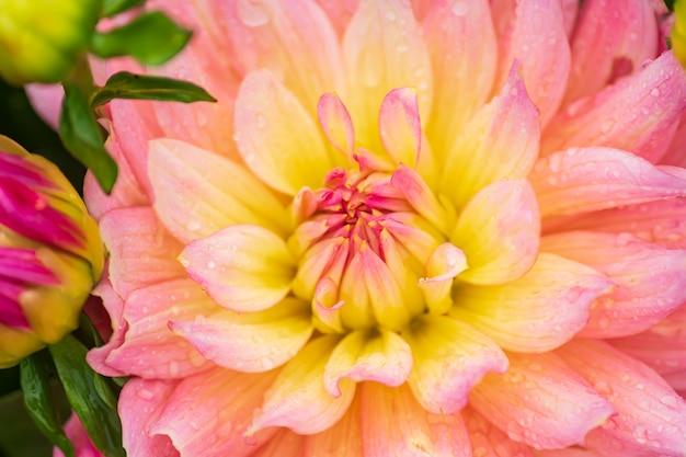 庭で雨の滴をピンクのダリアの花、ソフトフォーカス。