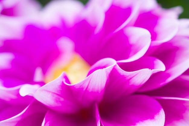 ピンクのダリアの花のクローズアップの背景