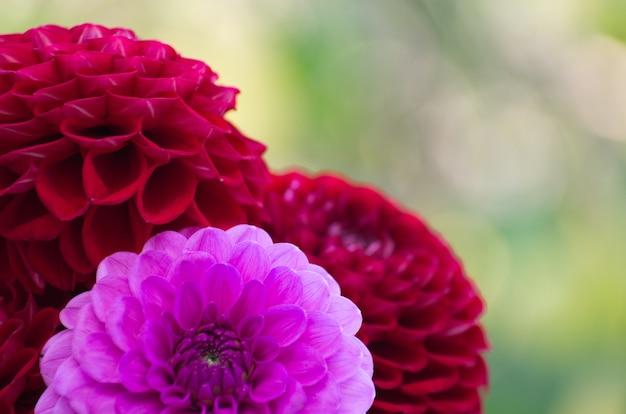 Розовые георгины в саду