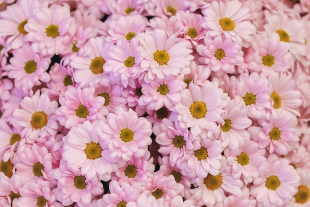 Pink daisies. floral background. garden flowers. flowers for postcard. daisy flower texture. beautiful bouquet of daisies closeup.