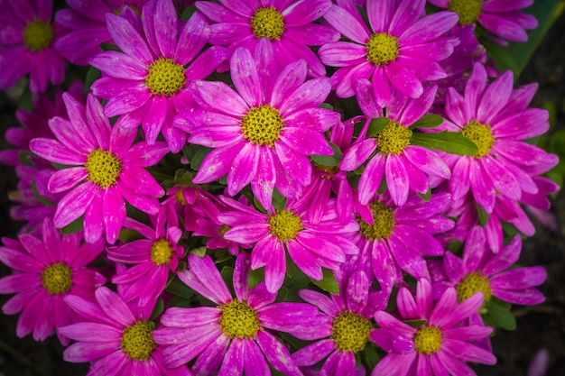 Pink daisies in the garden close up