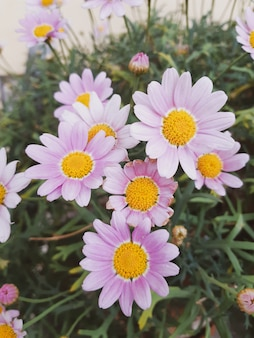 Розовые ромашки в саду. натуральные обои, стена для дизайна, место для текста, весенние цветы.