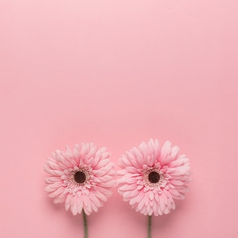 Pink daisies on pink