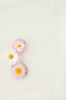 흰색 나무 표면에 핑크 데이지 꽃 벨리스 perennis. 배경으로 조롱하다