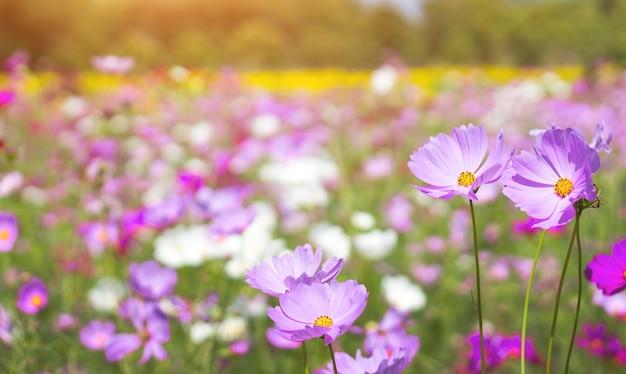 Pink daisy flower in botany garden