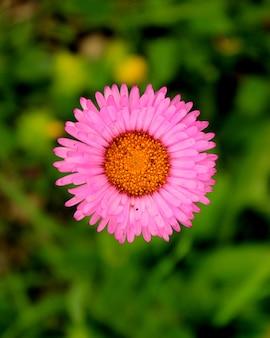 Розовая маргаритка цветы главный макрос и крупный план в грузии. природа и размытие поверхности. боке.