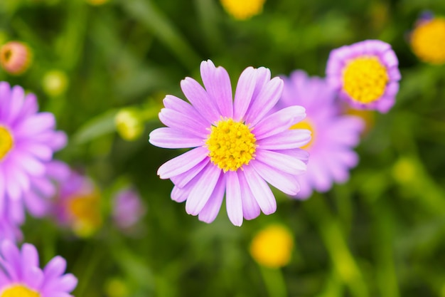 ピンクのデイジーの花