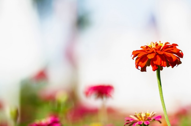 Pink daisy gerbera flowers with blurred background