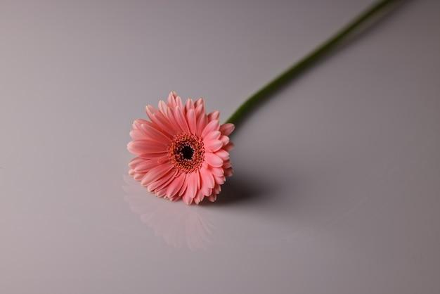 白い背景の上のピンクのデイジー