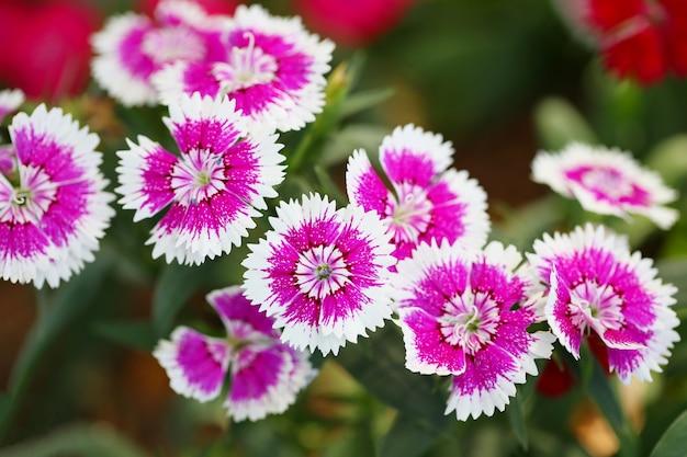 Pink dianthus in bloom