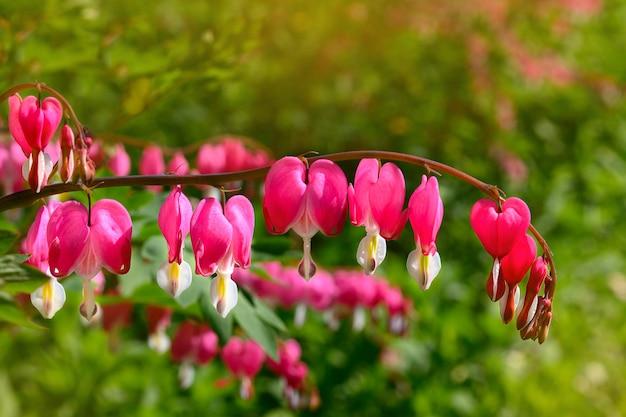 정원의 핑크 디센트라 꽃