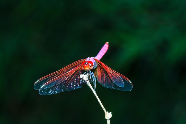 Pink dragonfly on stick bamboo in forest at thailand