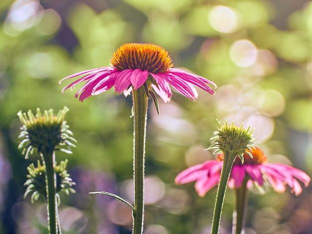 Pink echinacea flowers in the garden.