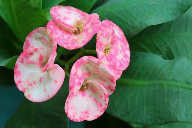 黄色い心皮の花、とげの植物の王冠、中国文化の幸運な花とピンクの八仙。 Premium写真