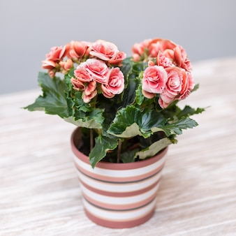 Pink elatior begonia in the pot