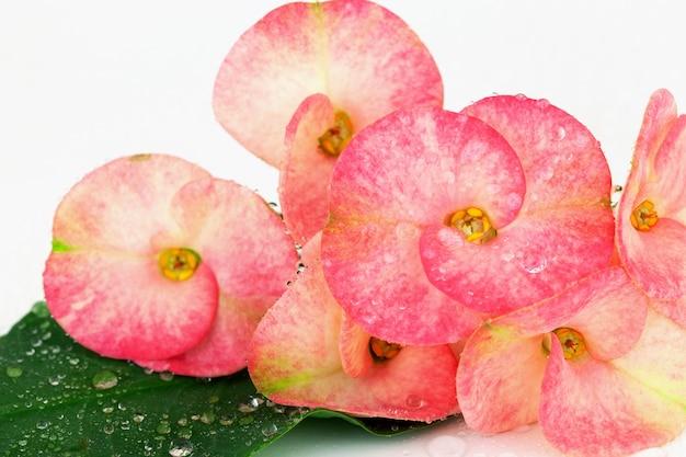 ピンク・ユーフォビア・ミリの花が咲き、キリスト・トーン、ポイ・シリアの花