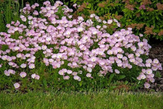Розовые цветы примулы вечерней в летнем саду