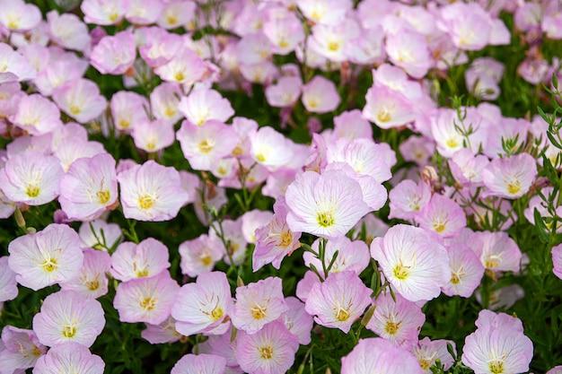 Розовые цветы примулы вечерней в саду