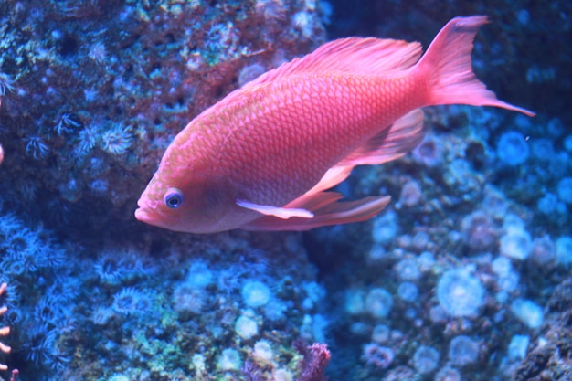 Pink fish in aquarium