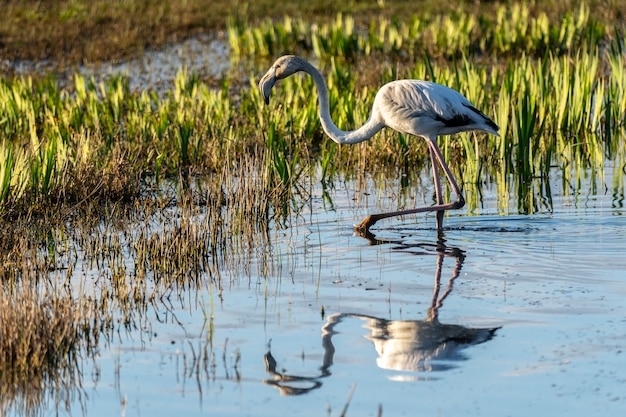 アンプルダンの沼地の自然公園の夜明けのピンクのフラミンゴ。