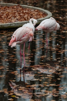 動物園のピンクのフラミンゴ。秋の鳥の反射。カリブ海またはアフリカのエキゾチックな野鳥が片足で水中に集まります。