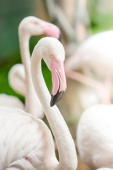 Pink flamingo-close up, it has a beautiful coloring of feathers