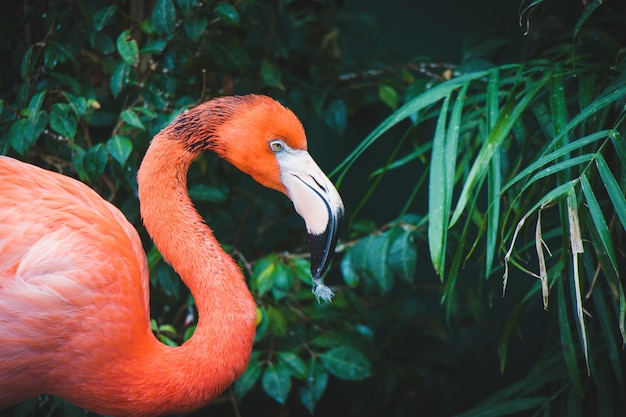 Pink flamingo close up