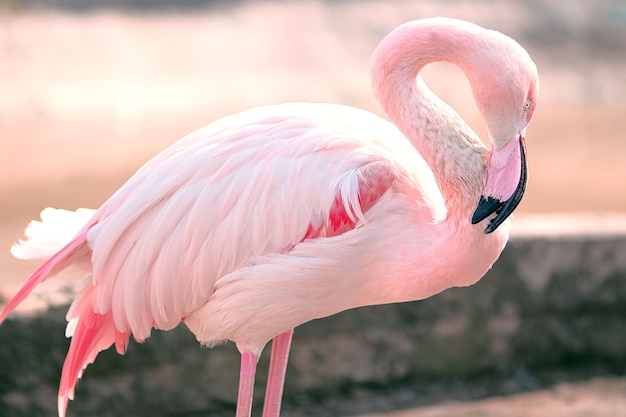 Pink flamingo graceful and gentle bird stands lowered head