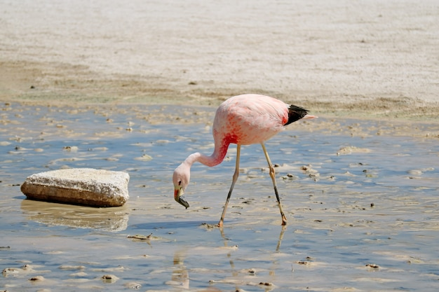 Pink flamingo grazing in shallow saline water of laguna hedionda lake in bolivian altiplano, bolivia